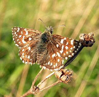 <i>Pyrgus</i> Butterfly genus known as grizzled skippers