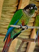 A green parrot with a black head, blue wings, and a red tail with a white eye-spot