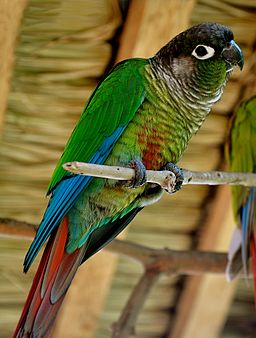 Green cheek conures are popular types of conures as pets