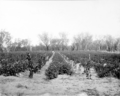 Queensland State Archives 2654 Young grape vines and potatoes Pikedale January 1920.png