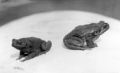 Queensland State Archives 2981 Cane toads at the Meringa Sugar Experiment Station North Queensland c 1935.png