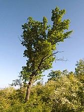 träd ringen dating exempel