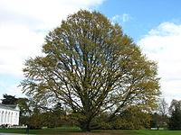 Quercus castaneifolia2 kew