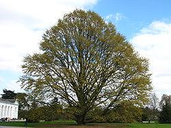 Quercus castaneifolia2 kew.jpg