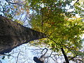 Quercus cerris (6).JPG
