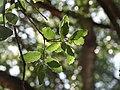 Quercus coccifera ulistnienie.jpg