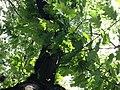 Quercus rubra (Red Oak) C32-2.jpg