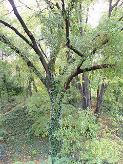 <i>Quercus trojana</i> species of plant