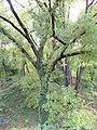 Quercus trojana Jevremovac.JPG