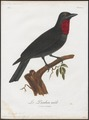 Querula purpurata - 1801 - Print - Iconographia Zoologica - Special Collections University of Amsterdam - UBA01 IZ16600121.tif