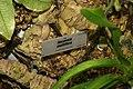 Racaenia multiflora 0zz.jpg