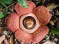 Rafflesia keithii (13890819315).jpg