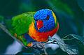 Rainbow Lorikeet (Trichoglossus moluccanus) (10244229103).jpg