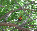 Rainbow lorikeet in a tree.JPG
