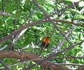 Rainbow lorikeet in a tree.JPG
