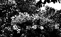 Raintree In Black And White (49102922).jpeg