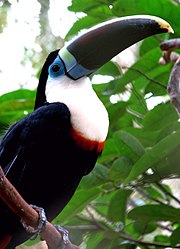 Ramphastos tucanus (intergrade) -Brazil-8a.jpg