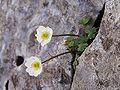 Ranunculus alpestris a2.jpg