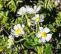 Ranunculus lyallii in Fiordland National Park 05.jpg