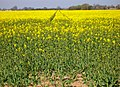 Rape Field - geograph.org.uk - 394142.jpg
