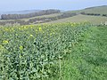 Rape crop - geograph.org.uk - 393448.jpg