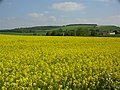 Rape field near East Meon - geograph.org.uk - 1932.jpg