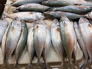 Island mackerel species of fish