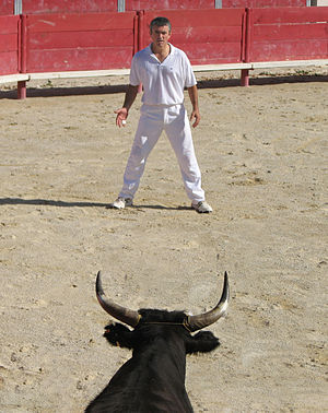 Aimargues - Cocardier facing a bull at the Course camarguaise at Aimargues