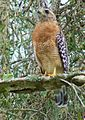 Red-Shouldered Hawk - cenral Florida.jpg