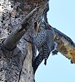 Red-shafted Flicker (33981072316).jpg