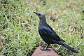 Red-winged Starling (28160158175).jpg