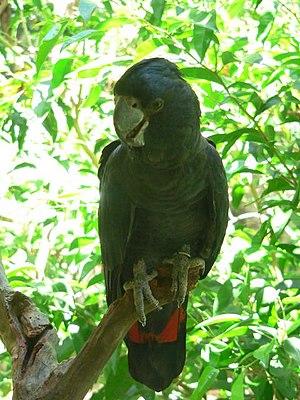 Calyptorhynchus - Calyptorhynchus banksii