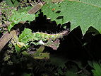 Red Admiral caterpillar 04.JPG