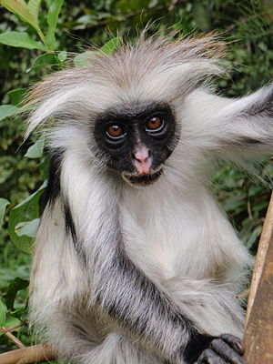Red Colobus monkey in Jozani forest. Endemic t...
