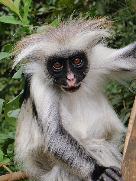 File:Red Colobus 4.jpg