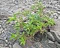 Red Osier Dogwood (Cornus sericea) - Gros Morne National Park, Newfoundland 2019-08-20.jpg