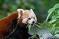 Red Panda (36790424914).jpg