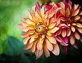 Red and Yellow Dahlia PLT-FL-DH-3.jpg
