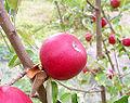 Red apple.jpg