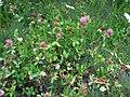 Red clover in Zlatibor.jpg