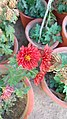 Red potted flowers.jpg