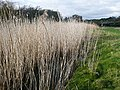 Reeds on Thorns Marsh - geograph.org.uk - 817994.jpg