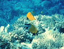 Reef with Forcipiger and Siganus.jpg