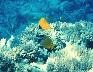 Rabbitfish - A foxface rabbitfish (S. vulpinus) meeting a longnose butterflyfish (above) in their coral reef habitat