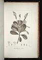 Retiniphyllum secundiflorum 25-original.jpg