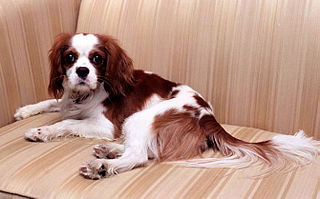 Cavalier King Charles Spaniel owned by Ronald and Nancy Reagan