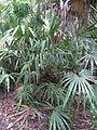 Rhapidophyllum hystrix 004 by Scott Zona.jpg