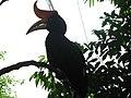 Rhinoceros hornbill (7856790324).jpg