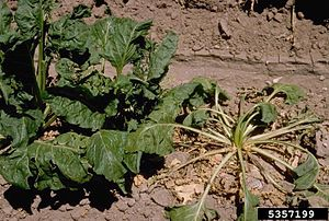 Rhizoctonia solani - R. solani causing crown rot infection on Beta vulgaris, common beet