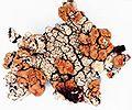Rhizoplaca chrysoleuca.jpg
